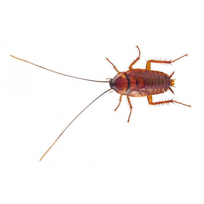 blattes-red-runner-pour-reptiles-la-boite-30-40-pcs